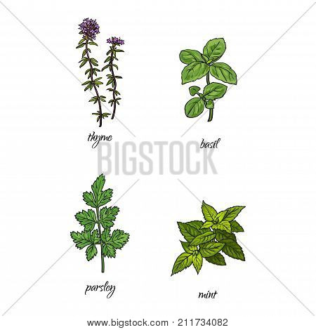 vector flat cartoon sketch style hand drawn Spices , seasoning, flavorings and kitchen herbs set. coriander, cilantro thyme, mint and basil leaves, stem. Isolated illustration on a white background.