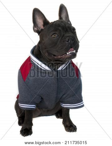 blue French bulldog dressed in college high school sports gearmascot type portrait on a white isolated background full body of a head up eyes looking sidewards copy space on jacket