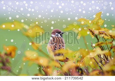 First Snow is falling. Sparrow (Passer domesticus) perching on a tree branch against green field. Beautiful brown bird on back side surrounded by blurry yellow leaves. Autumn natural background