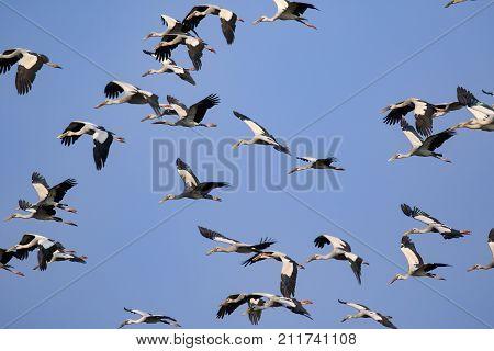 Image of flock of asian openbill stork(Anastomus oscitans) flying in the sky. Bird Wild Animals.