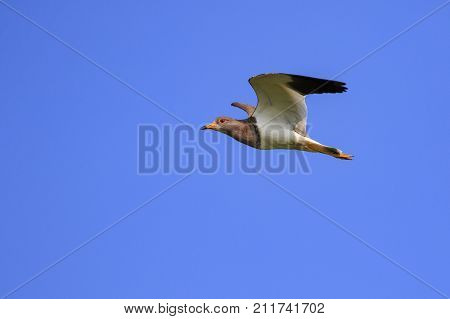 Image of red-wattled lapwing bird(Vanellus indicus) flying in the sky. Animal. Bird.