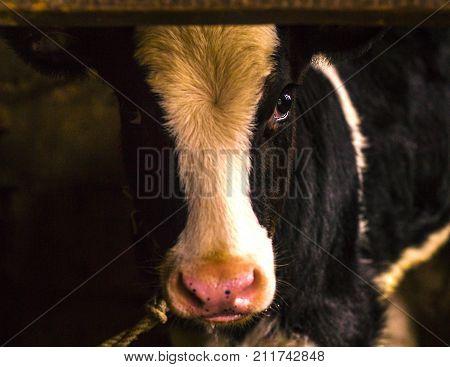 calf in the stall . calf. animal
