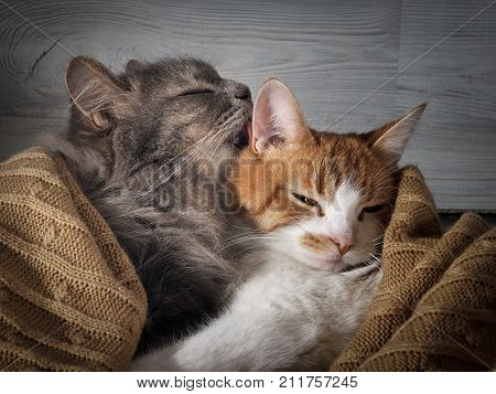 The cat affectionately licks the cat. The concept of the affection in the relationship love