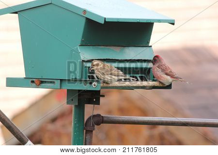 Male and female house finch (Carpodacus mexicanus) on a bird feeder.