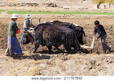 TIBET- APRIL, 15, 2012 - Unidentified farmers ploughing agricultural lands with yaks - Tibet