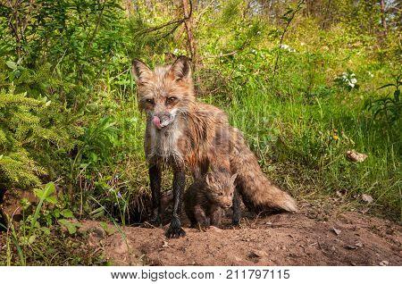 Red Fox Vixen (Vulpes vulpes) Licks Nose Kit Beneath - captive animal