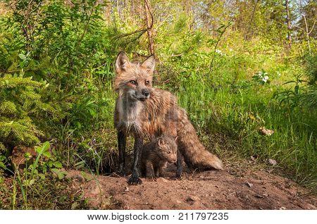 Red Fox Vixen (Vulpes vulpes) Looks Right Kit Beneath - captive animal