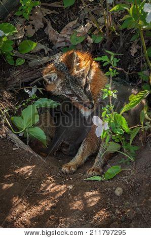 Grey Fox (Urocyon cinereoargenteus) Vixen Looks Down at Flower - captive animal