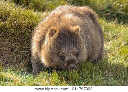 Common wombat at the Waldheim Chalet in the Cradle Mountain-Lake St Clair National Park - Tasmania, Australia