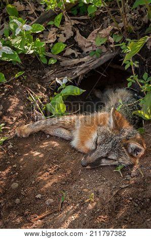 Grey Fox (Urocyon cinereoargenteus) Vixen Lies With Head Out of Den - captive animal