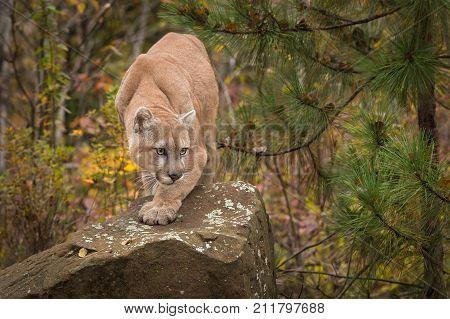 Adult Male Cougar (Puma concolor) Paw Forward on Rock - captive anima