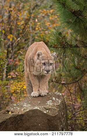 Adult Male Cougar (Puma concolor) Stares Out From Rock - captive animal