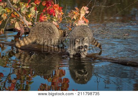 Two Raccoons (Procyon lotor) on Log Paws in Water - captive animals