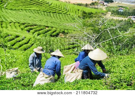 Tea Pickers In Traditional Hats Collecting Fresh Tea Leaves