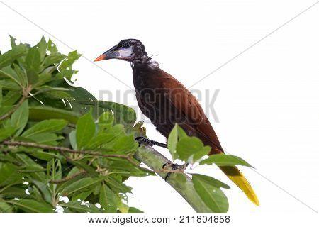 Young Oropendola In Costa Rica
