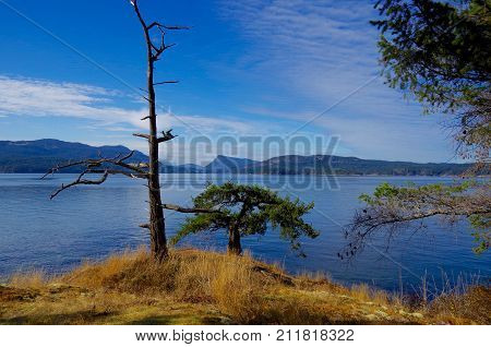 A Dead Douglas Fir Trees And A Stunted One On A Golden Grass Covered Bluff Overlooking Salt Spring I