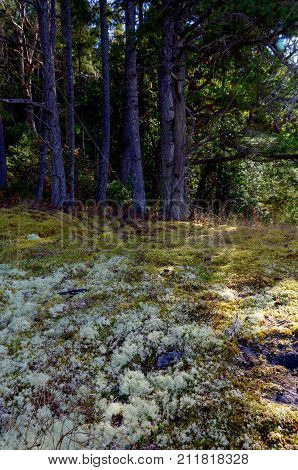 Moss And Lichen Carpet The Ground In Front Of A Stand Of Douglas Fir Trees On Portland Island Britis