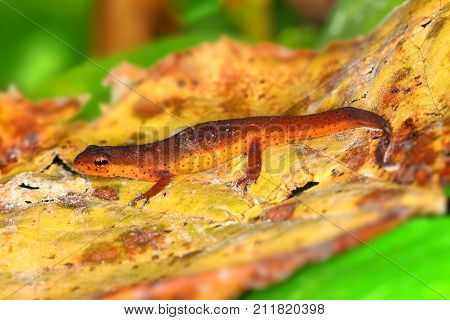 Eastern Newt (Notophthalmus viridescens) inhabiting the forests of southern Illinois