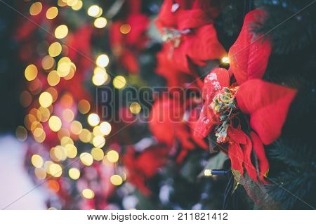 Festive decoration background with red artificial poinsettia flowers as Christmas symbol and illuminated garland on bokeh