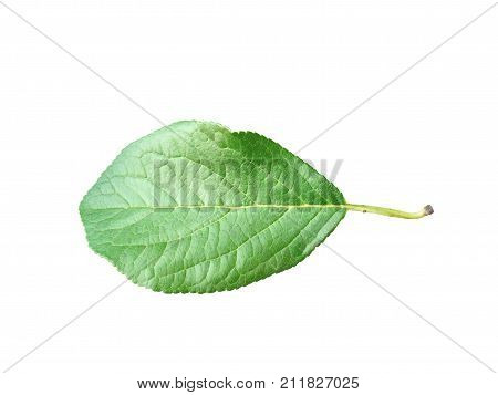 Green leaf plum. Cut out, isolated on white background. Ready for use in your collages and design. Macro, close up view.