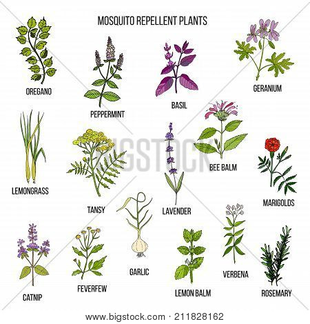 Best mosquito repellent plants . Hand drawn vector set of medicinal plants