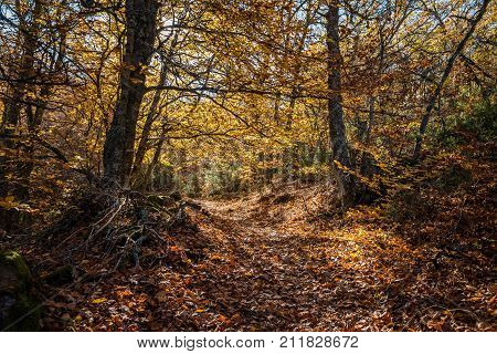 Beautiful autumn beech forest with yellow colors. Beech Forest of Pedrosa in Segovia, Spain