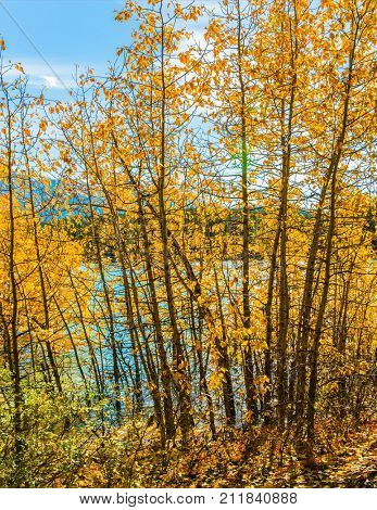 Rocky Mountains of Canada. The flooded coastal aspen grove. Picturesque turquoise Abraham Lake in a flood. The concept of active and ecological tourism