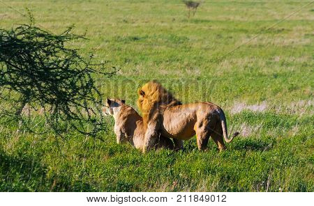 A premonition of love. The lion and lioness resting on the ground. Savanna of Tanzania, Africa