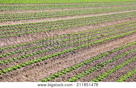 Cultivation Of Green Lettuce In Sandy Soil