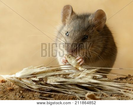 Closeup small vole mouse eats grain of rye near spikelet of rye on the field. Concept of pest control.