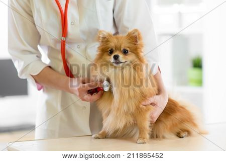 Veterinarian doctor using stethoscope during examination in veterinary clinic. Dog Spitz in vet clinic