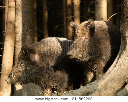 Sus scrofa scrofa - Wild boars in autumn forest