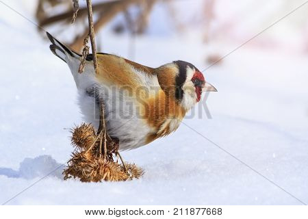 goldfinch pressed the snow of woolly burdock seeds , wildlife, winter survival, cold and frost