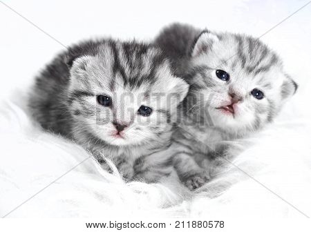 Kittens baby striped gray. Kittens are lying