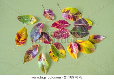 Autumn multicolored mosaic of leaves of a pear tree on the background of greenish plywood