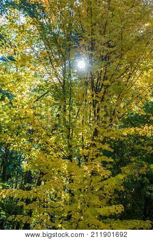 Light shines through Autumn leaves in the Pacific Northwest.