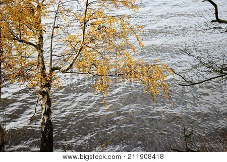 Fall season colored birch tree by a water surface