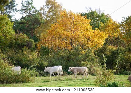 White cows walks in a colorful fall colored landscape