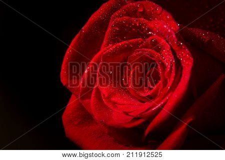Beautiful red rose flower on dark background