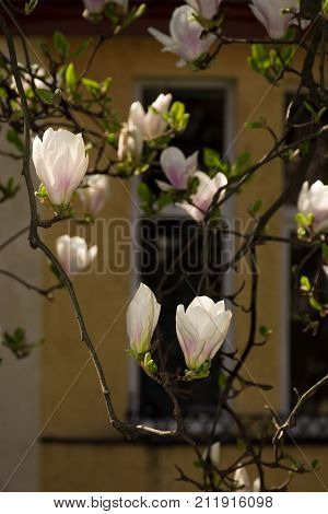 Magnolia Flowers In Front Of A Window