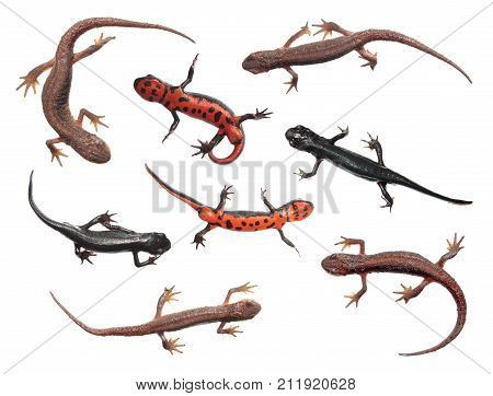 Set of different species of newts isolated on white background. Common newt (Lissotriton vulgaris) and Japanese fire belly newt (Cynops pyrrhogaster)