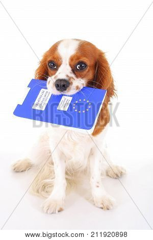 Dog with pet passport immigrating or ready for a vacation. King Charles spaniel carry animal id passport. Dog passport concept isolated on white background. Cavalier spaniel studio photo illustration. Cute.