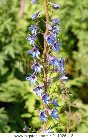 Delphinium Elatum Flower. Altai Republic. Russia