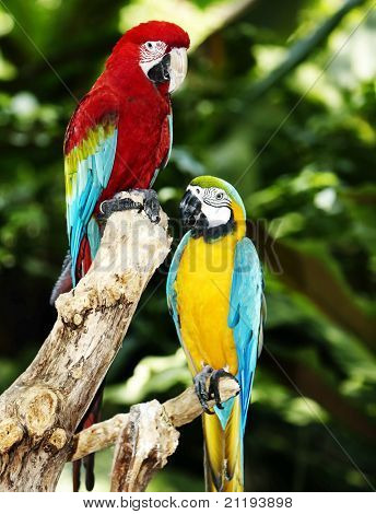 Two parrot in green rainforest. Outdoor. poster