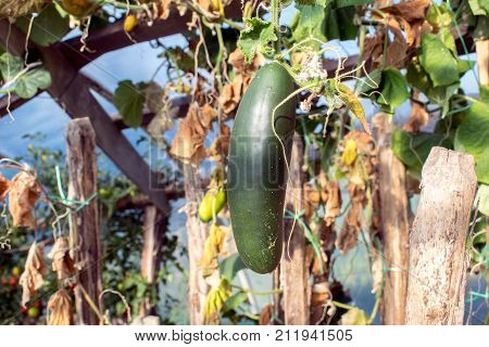 Cucumbers in a garden in the village. Scourge of cucumbers on the grid. The bed of cucumbers in the open air. Free space