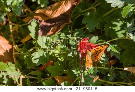 Comma Butterfly On A Red Flower