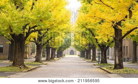 Autumn and japan travel concept - Beautiful yellow leaf of ginko tree with walkway to clock tower in autumn season in tokyo japan