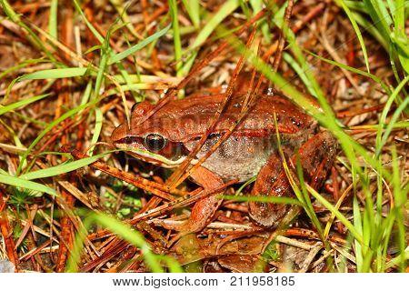 Wood Frog (Rana sylvatica) in the northwoods of Wisconsin poster