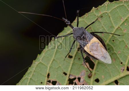macro image of an assassin bug on green leaf