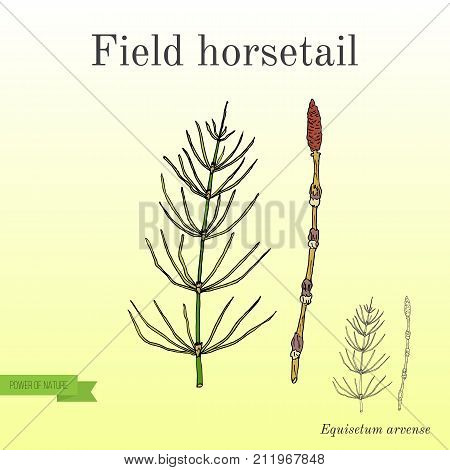 Field Horsetail Equisetum arvense . Hand drawn botanical vector illustration